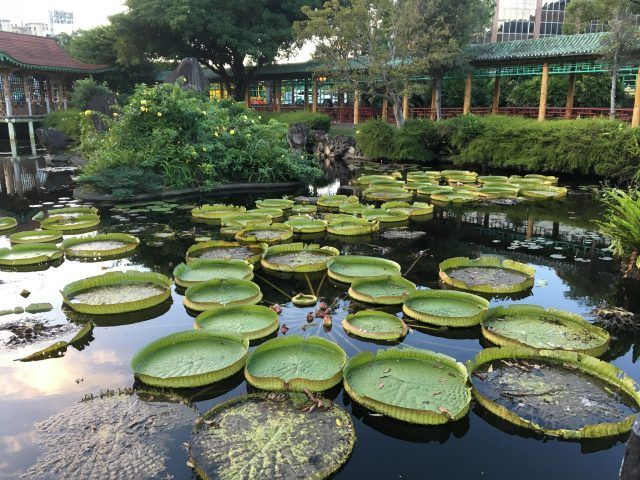 Giant Lilypads floating on a lake in Shuangzi Park Taipei.