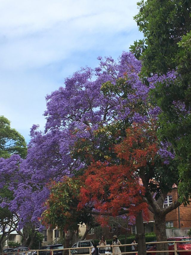 McDougall Street in Kirribilli is one of the best places in Sydney to see jacaranda trees. It's known as jacaranda street Sydney