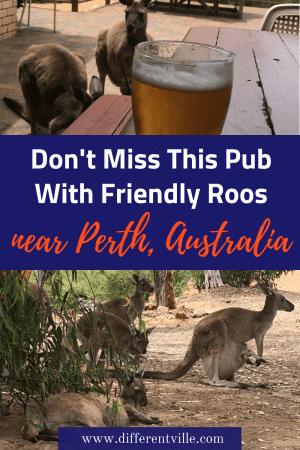 The John Forrest Tavern near Perth, Australia is a great, down-to-earth Aussie pub - but what makes it really special are the mob of kangaroos that choose to make it home. Here's where to find it if you want to see kangaroos in Perth. #perth #kangaroos #thingstodoinperth