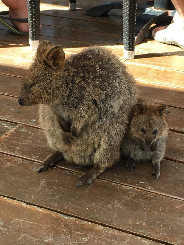 12,000 quokkas live on Rottnest Island near Perth. Here's two super cute ones.