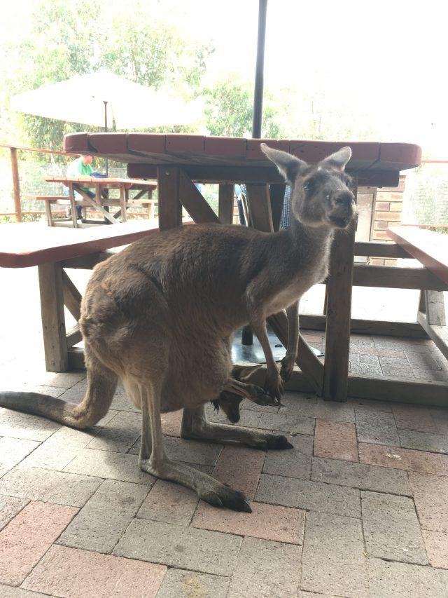 John Forrest Tavern just outside Perth has it's own mob of roos that like to join you in the beer garden. What happened when we had a schooner with Skippy.