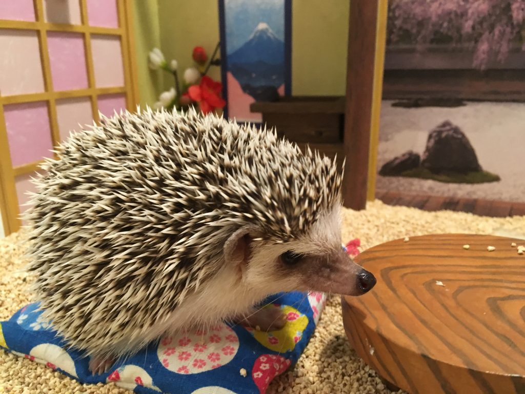 Chiku Chiku Hedgehog Cafe in Shibuyu Tokyo takes cute to the next level - all its hedgehogs live in tiny rooms sets.