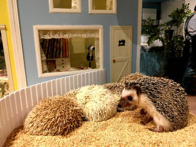 There are a lot of hedgehog cafes now in Tokyo, but I think Chiku Chiku in Shibuya is possible the best - each of it's animals lives in its own tiny room.