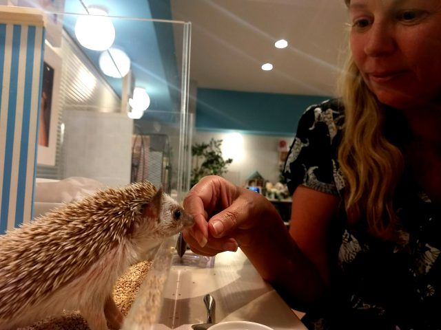 Chiku Chiku Hedgehog Cafe in Shibuyu Tokyo takes cute to the next level - all its hedgehogs live in tiny rooms sets. It could be Tokyo's best hedgehog cafe.