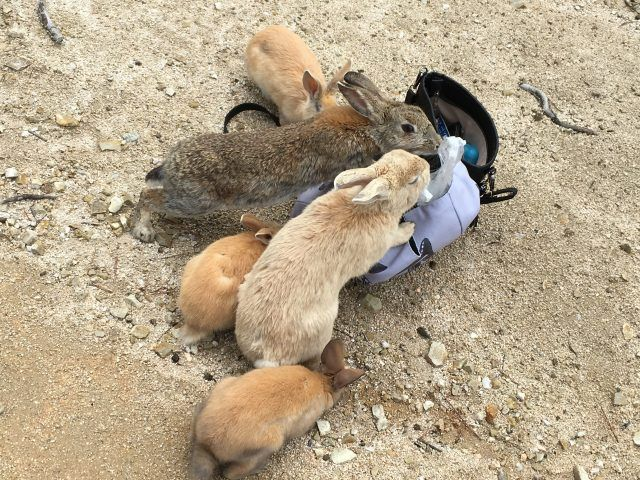 Over 1000 rabbits live on Okunoshima, aka Rabbit Island off the coast of Japan, and they love people!