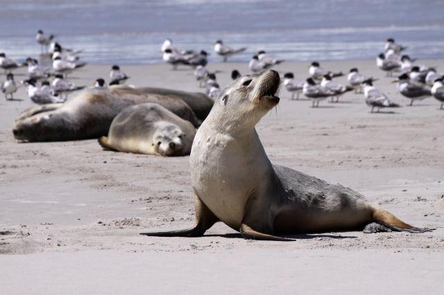 Sea lion on the beach, Kangaroo Island Australia