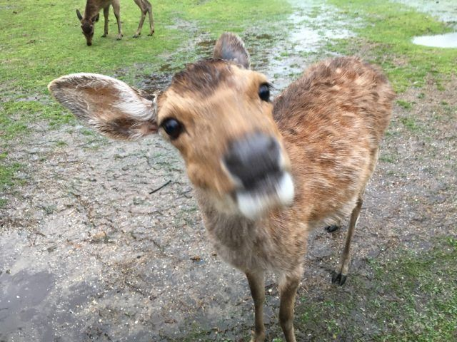 The deer in Nara Japan are not afraid of people!