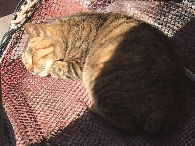 Ginger and striped cat sleeping in the sun in a fishing net on Ainoshima Island near Fukuoka