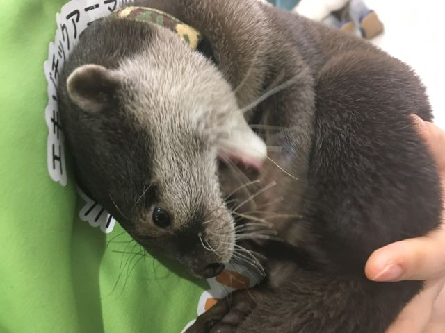 Otter lying on his back at an otter cate in Fukuoka