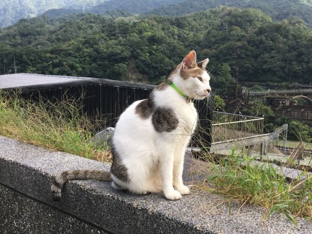 cat sitting on a wall in Houtong Cat Village, Taipei