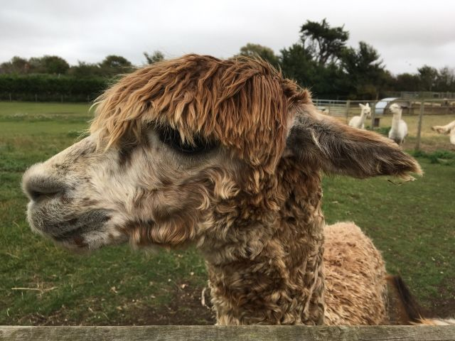 Brown alpaca with a long fringe