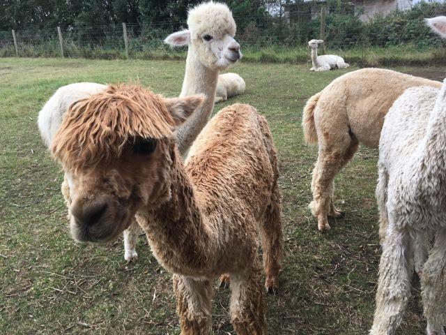 alpacas standing in a field