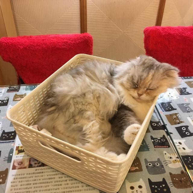 Cat asleep at a cat cafe in Taipei, Taiwan