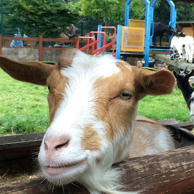 Brown and white goat peering over a fence at Spitalfield's City Farm, London