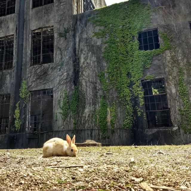 Rabbit outside an ivy covered building on Okunoshima, Rabbit Island, Japan