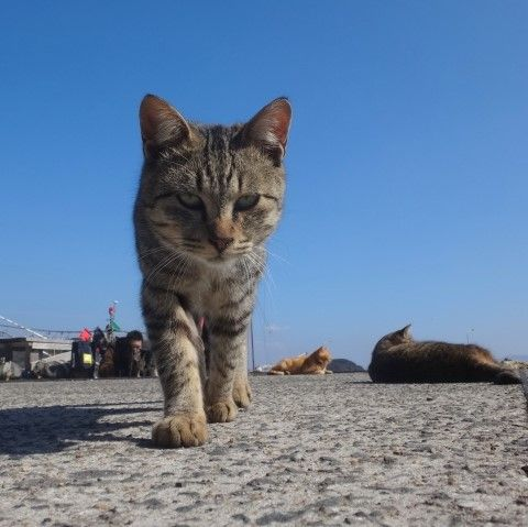 Grey cat walking toward the camera on Ainoshima Cat Island japan