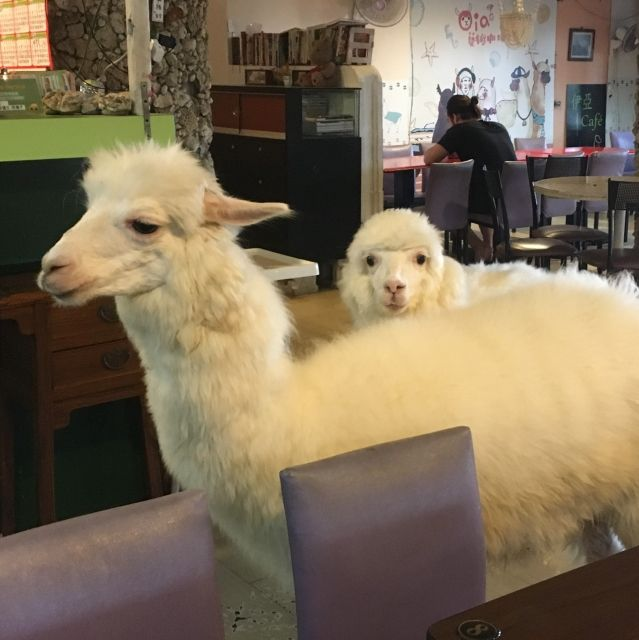Two alpacas photographed in the Alpaca Cafe in Taipei, Taiwan