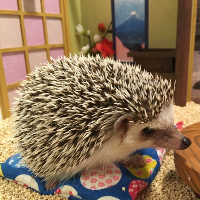 Hedgehog sitting on a tiny cushion in Chiku Chiku cafe, Tokyo