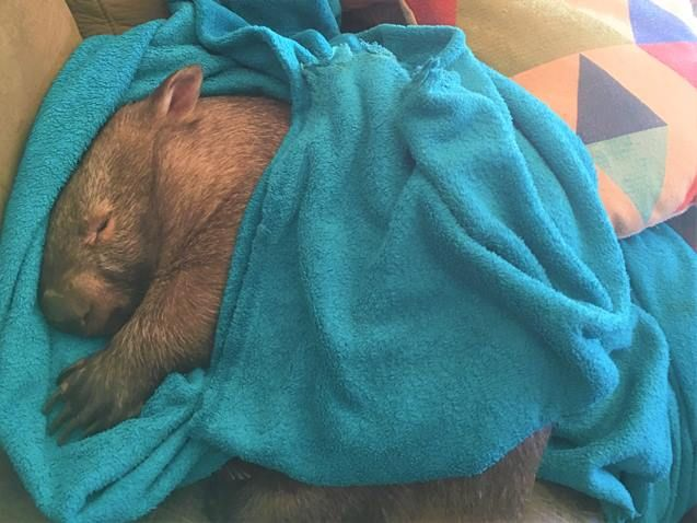 Wombat wearinga blanket, Sleepy Burrows Wombat Sanctuary