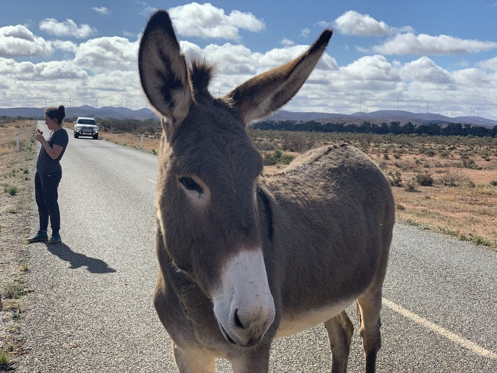 donkey standing in the road in Silverton, NSW